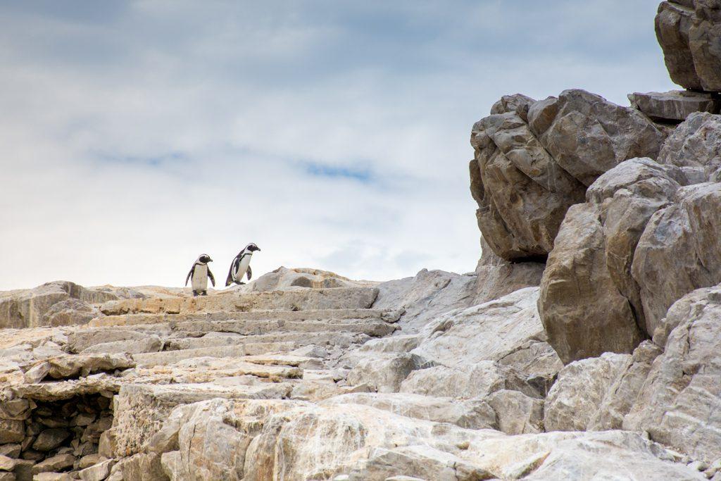 African Penguins Addo