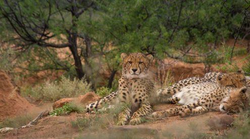 Cheetah Samara Private Game Reserve