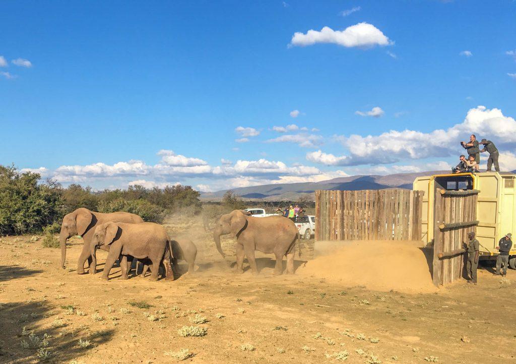 Addo elephants Dalrington